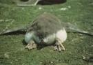 Ingrid Schenk  -  Gentoo penguin chick (Pygoscelis papua) - Postkaart -  C5124-1