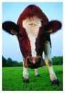 Nick Carding  -  Curious cow - Postkaart -  C5550-1