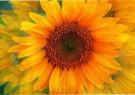 Elliott Landy (1942)  -  Sunflower Blue - Postkaart -  C6551-1