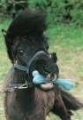 Mike Hollist  -  Shetland-pony - Postkaart -  C7096-1