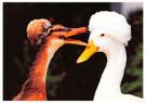 Mike Hollist  -  C rustende eenden - Postkaart -  C7097-1