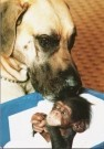 Mike Hollist  -  Great Dane foster baby chimp - Postkaart -  C7098-1