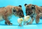 Mike Hollist  -  Chicks join the cubs - Postkaart -  C7234-1