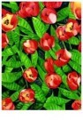 Mary Russel  -  Red Tulips - Postkaart -  C7532-1