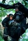 Karl Ammann  -  Chimpanees met gestolen camera - Postkaart -  C8411-1