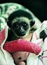 Ian Robinson  -  Gizmo the Gibbon - Postkaart -  C8477-1