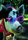 Bruce Curtis  -  Pig with Sunglasses - Postkaart -  C8575-1