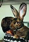 H.Sjostrom  -  Harry the 19 pounder Belgium Rabbit - Postkaart -  C8696-1