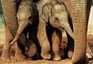 Mike Hollist  -  Baby elephants - Postkaart -  C8698-1