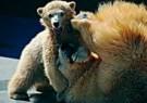 Ron Entius  -  Vechten met de beer - Postkaart -  C8935-1