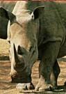 Paul van Gaalen(1948)  -  Witte Neushoorn, Sabi Sabi game reserve, Zuid-Afri - Postkaart -  C9302-1
