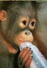 Paul van Gaalen(1948)  -  Orangoetan baby - Postkaart -  C9306-1