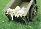Coquille  -  A cartful of golden puppies - Postkaart -  C9310-1
