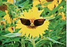 Michael Mattsson  -  Sunflower with sunglasses - Postkaart -  C9331-1