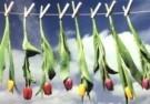 Martie Seesing  -  Knijpers met bloemen aan de waslijn, 2000 - Postkaart -  C9337-1