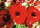 Alette Berends  -  Wie is er bang voor rood - Postkaart -  C9563-1