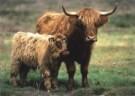Jan Sleurink  -  Schotse Hooglanders, koe met kalf, 2000 - Postkaart -  C9743-1