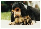 Mike Hollist  -  A Cocker Spaniel Dog Fosters Ducklings after Losin - Postkaart -  C9831-1