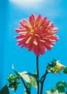 Margot de Korte  -  Dahlia in de zon, 2001 - Postkaart -  C9851-1
