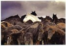 Laurens Aaij  -  L. Aaij/Een kudde paarden - Postkaart -  PS1022-1
