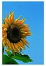 Paul Huf (1924-2002)  -  Sunflower,VvG - Postkaart -  QC085-1