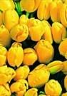 Paul Huf (1924-2002)  -  Flowerpower no.25 - Postkaart -  QC315-1