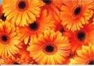 Jack Schopman  -  Oranje Gerbera's - Postkaart -  QC437-1