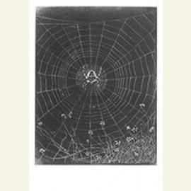 Kruisspin in zijn web, 1916
