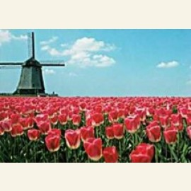 Red Tulips & Windmill, Holland