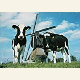 Cow-Mill-Cow, Holland