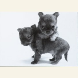 Two together chihuahua pups)
