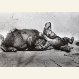 Orang-utans, 1979, from 'The Animal Portrait'