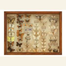 Vitrinekast met opgezette vlindersm circa 1920