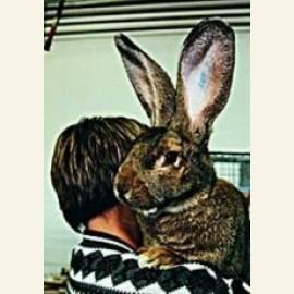 Harry the 19 pounder Belgium Rabbit