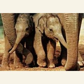 Babyolifanten