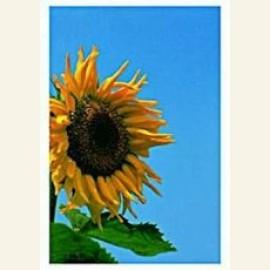 Sunflower,VvG